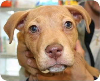 American Staffordshire Terrier/Staffordshire Bull Terrier Mix Puppy for adoption in Berea, Ohio - Quincy