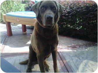 Labrador Retriever Dog for adoption in Winder, Georgia - *Harley