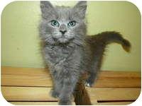 Domestic Longhair Kitten for adoption in Tampa, Florida - Savannah