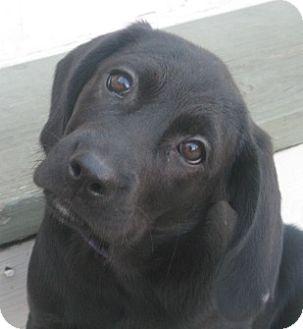 Labrador Retriever/Pointer Mix Puppy for adoption in Chicago, Illinois - Wesley