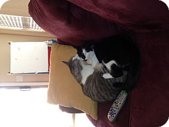 Domestic Shorthair Cat for adoption in Chandler, Arizona - Sisters
