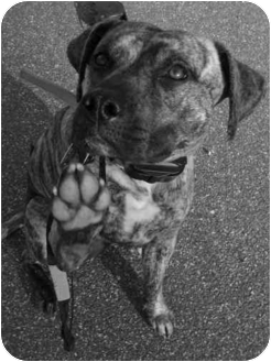 American Pit Bull Terrier Mix Dog for adoption in Gastonia, North Carolina - Roxy