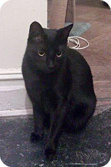 Domestic Shorthair Cat for adoption in Brooklyn, New York - Romeo