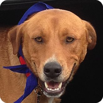 Carolina Dog Mix Dog for adoption in McCormick, South Carolina - Rusty