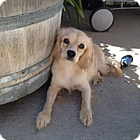 Adopt A Pet :: Sophia - Los Angeles, CA