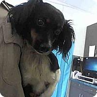 Adopt A Pet :: Gracie - Milan, NY
