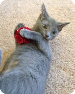 Domestic Shorthair Kitten for adoption in Byron Center, Michigan - Itsy
