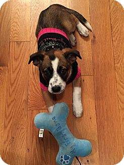 Rat Terrier/Jack Russell Terrier Mix Puppy for adoption in Mohegan Lake, New York - Sadie