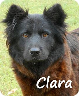 Chow Chow Mix Dog for adoption in Palm Coast, Florida - CLARA
