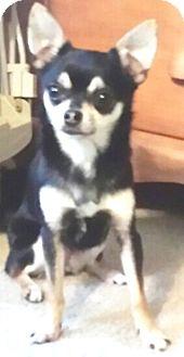 Chihuahua Mix Dog for adoption in Durham, North Carolina - Poppet