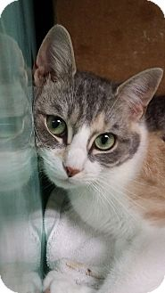 Calico Cat for adoption in Rockaway, New Jersey - Snow White