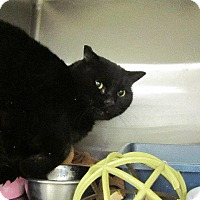 Domestic Mediumhair Cat for adoption in Grand Junction, Colorado - Romeo