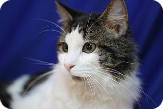 Domestic Longhair Cat for adoption in Midland, Michigan - Sasquatch