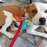 Adopt A Pet :: Bambi - Wappingers, NY