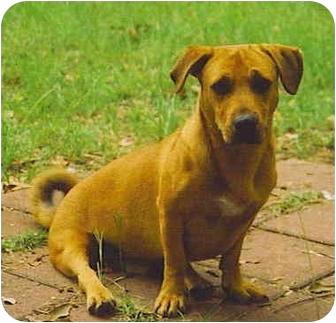 Basset Hound/Boxer Mix Dog for adoption in Cranston, Rhode Island - CLIFFORD