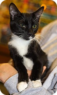 Domestic Shorthair Kitten for adoption in Charlotte, North Carolina - A..  Danny