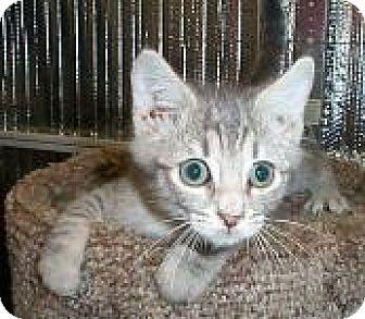 Domestic Mediumhair Kitten for adoption in Fayetteville, Georgia - Gonzo
