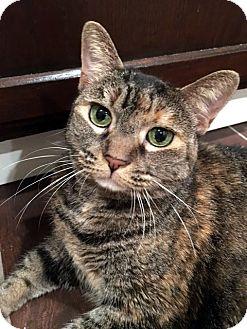 Domestic Shorthair Cat for adoption in Las Vegas, Nevada - Laverne