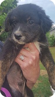 Beagle/Rat Terrier Mix Puppy for adoption in Hagerstown, Maryland - Vance