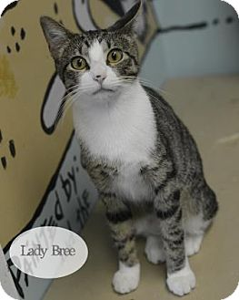 Domestic Shorthair Cat for adoption in West Des Moines, Iowa - Lady Bree