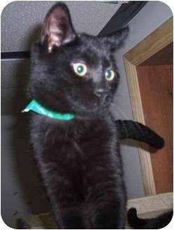 Domestic Shorthair Kitten for adoption in Huntingdon, Pennsylvania - Bogey