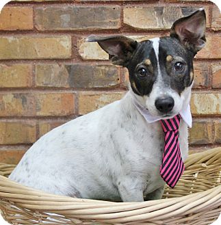 Rat Terrier Mix Dog for adoption in Benbrook, Texas - Tucker