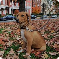 Adopt A Pet :: Sax - Richmond, VA