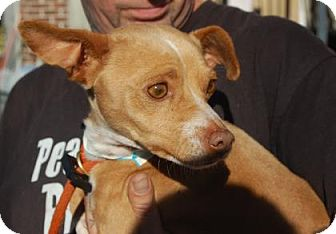 Chihuahua Mix Dog for adoption in Brooklyn, New York - Todd