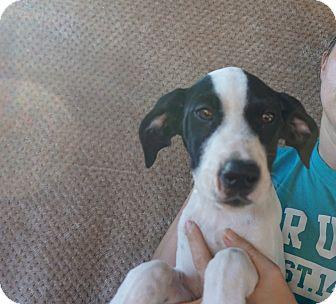 German Shorthaired Pointer/Bluetick Coonhound Mix Puppy for adoption in Oviedo, Florida - King