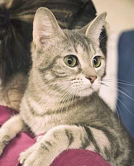 Domestic Shorthair Cat for adoption in Webster, Texas - Storm