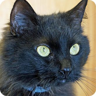 Domestic Longhair Cat for adoption in Sprakers, New York - Bailey