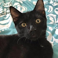 Domestic Shorthair Cat for adoption in San Jacinto, California - Queaky