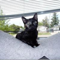 Domestic Shorthair/Domestic Shorthair Mix Cat for adoption in Saskatoon, Saskatchewan - Daffodil