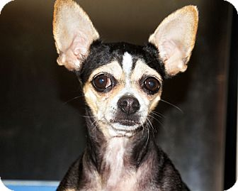 Chihuahua Dog for adoption in Marion, North Carolina - Dixie 'Chick'