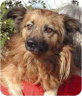 Pomeranian Mix Dog for adoption in Rolling Hills Estates, California - Burton