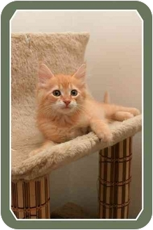 Domestic Mediumhair Kitten for adoption in Sterling Heights, Michigan - Jamboree - ADOPTED!