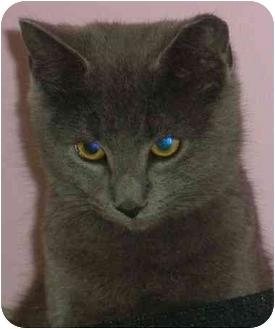 Russian Blue Cat for adoption in Medford, Massachusetts - Tarte