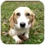 Photo 3 - Basset Hound/Beagle Mix Dog for adoption in Mocksville, North Carolina - Charity