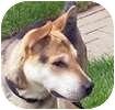 Shar Pei/Shepherd (Unknown Type) Mix Dog for adoption in Hamilton, Ontario - Bear