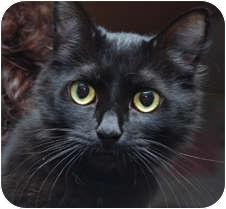 Domestic Mediumhair Cat for adoption in Milton, Massachusetts - Teri