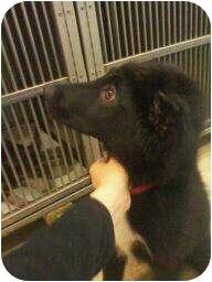 Border Collie Puppy for adoption in Wichita, Kansas - Darth Vader