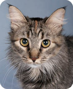 Maine Coon Cat for adoption in Chicago, Illinois - Rose