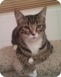 Domestic Shorthair Cat for adoption in Colorado Springs, Colorado - Sky Sox
