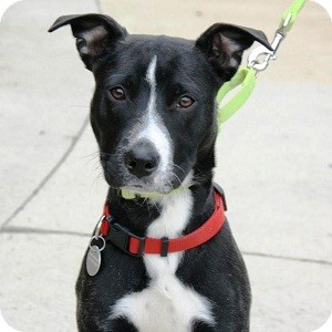 Boston Terrier Mix Dog for adoption in North Wales, Pennsylvania - Murphy