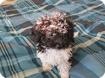 Poodle (Toy or Tea Cup) Mix Puppy for adoption in Essex Junction, Vermont - Dominic