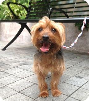 Yorkie, Yorkshire Terrier Dog for adoption in Long Beach, New York - Spencer