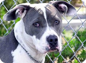 American Pit Bull Terrier Mix Dog for adoption in San Diego, California - Britney