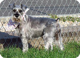 Schnauzer (Miniature) Mix Dog for adoption in Meridian, Idaho - Shivers