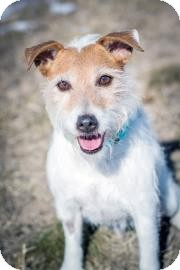 Jack Russell Terrier Mix Dog for adoption in Cheyenne, Wyoming - Jax