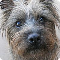 Adopt A Pet :: Teddy - dewey, AZ
